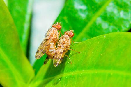 making love: dos moscas haciendo el amor Foto de archivo