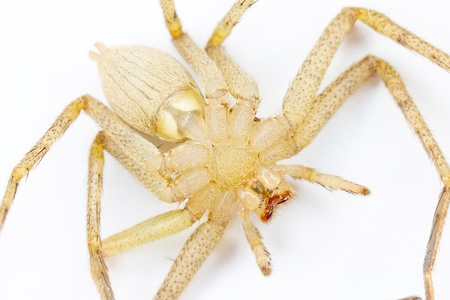 predatory insect: Tarantula isolated