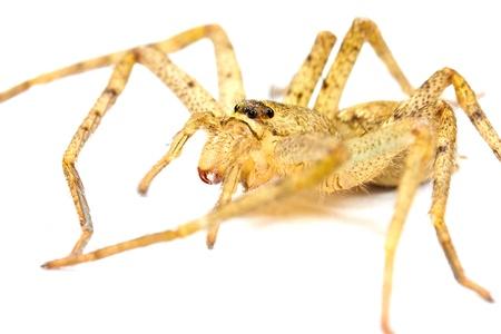 Tarantula isolated  photo