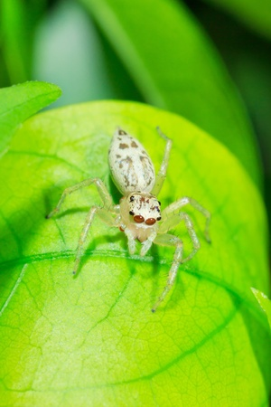 Jumping Spider on green leaf photo