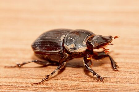 dung: insect dung beetle