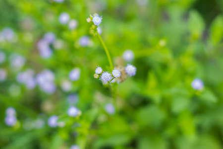 Poaceae also called Gramineae or true grasses