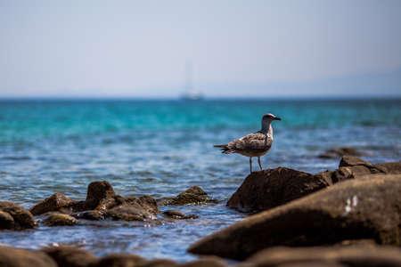 Black-backed seagull on the sea rocks