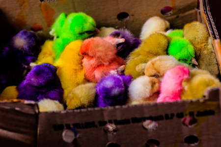 Bunch of small Easter chicks, ready to be sold