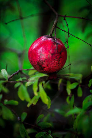 Young pomegranate on a tree branch  punica granatum  photo