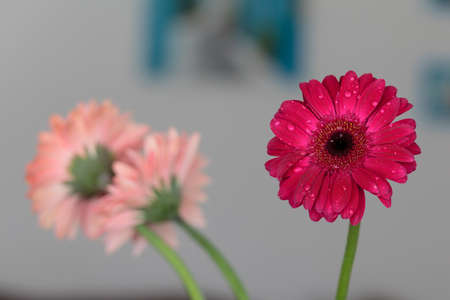 Water drops on a red gerbera flower Stock Photo