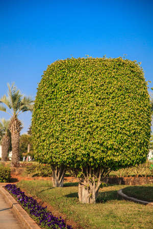 Ficus tree growing in a public place photo
