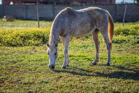 Full scale picture of horse eating grass Stock Photo - 18730628