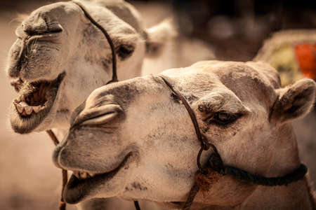 Close-up view of a camel s head Stock Photo - 18847257