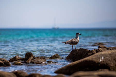Black-backed seagull  Larus marinus  on the sea rocks Stock Photo - 18847160