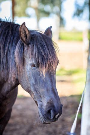 Closeup view of a black male horse Stock Photo