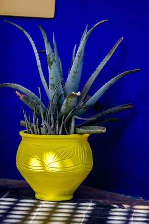 Growing Aloe Vera in decorative flowerpot