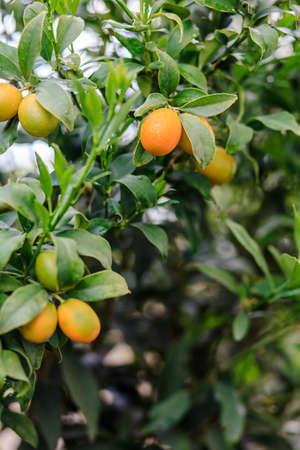 Kumquat fruits on the tree branch Stock Photo