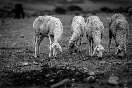 Free grazing sheep photo
