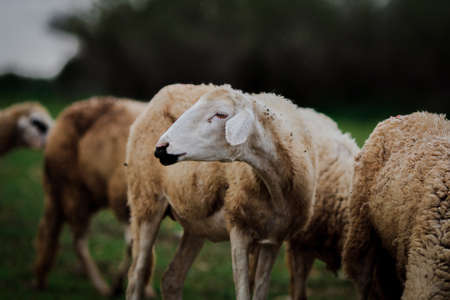 Sheep graze with closeup head Stock Photo - 18847157