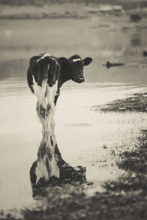 Cow standing in a swamp and watching her reflection