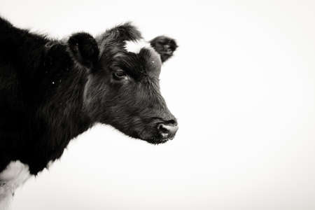 Black and white of a cows head