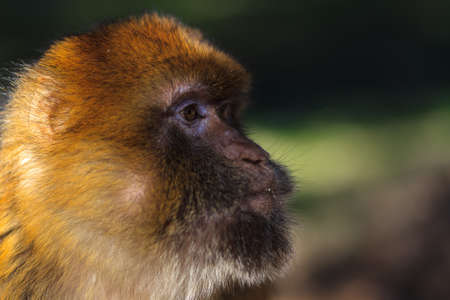 Side-view of a wild monkey head