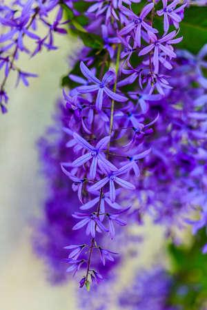 Blue flower Of Sandpaper Vine or Queens wreath  Petrea volubilis