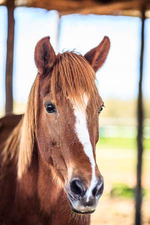 light brown horse: Head of a horse