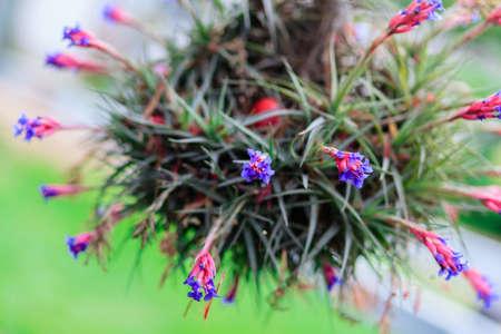 Beautiful Tillandsia flowers