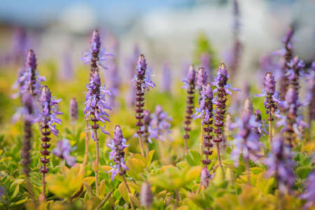 A bunch of lavender flowers, dried on the sun Stock Photo