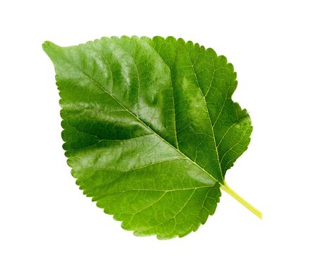 One mulberry leaf on a white background 写真素材