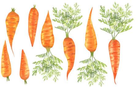 Set of watercolor carrots, bright orange vegetables.