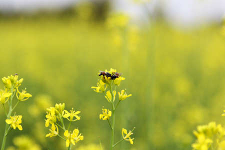 mustard plant: Mustard plant pollated with bee Stock Photo