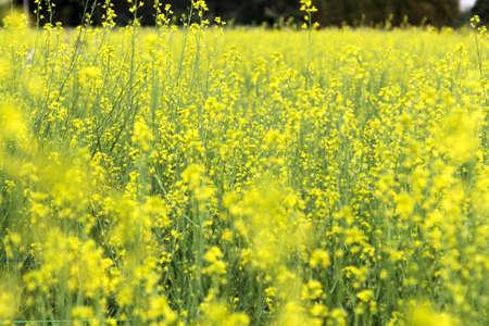 mustard field: Mustard Field