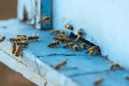 abejas panal: Abeja y colmena