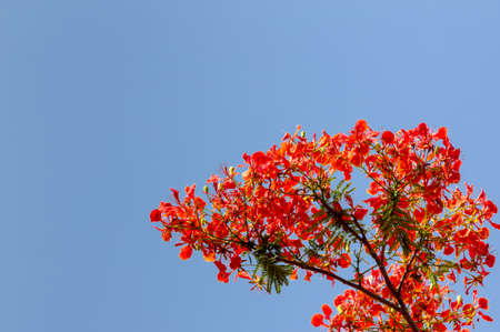 flamboyant: Red flamboyant tree