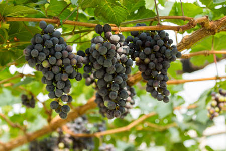 seedless: Seedless grapes on branch
