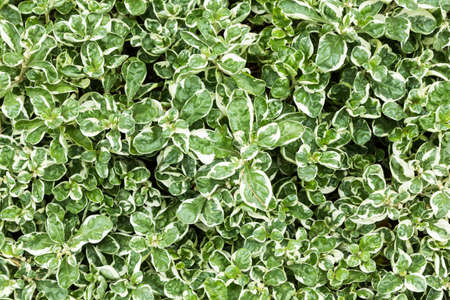 calico: Josephs Coat or Calico Plant leaf background