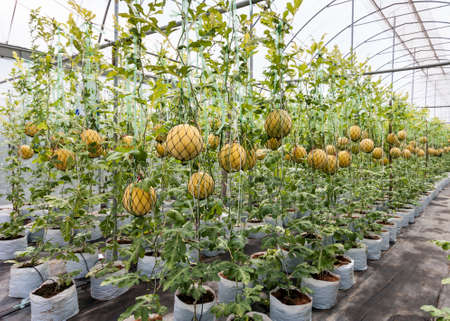 clambering: Cultivation of yellow skin watermelon in greenhouse