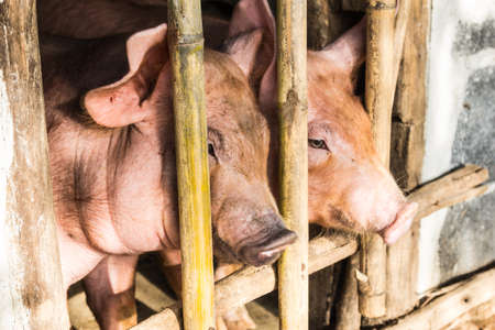 pigsty: close up of two pig in the wooden pigsty
