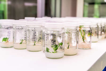 callus: experiment of plant tissue culture in the laboratory