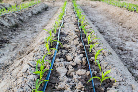 ファーム内の点滴灌漑システムで小さなトウモロコシ畑 写真素材 - 68046271