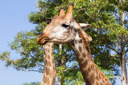 the giraffe head close up in  the zoo