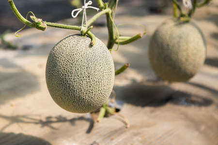 ripe japanese net melon growing in the field ready to harvest