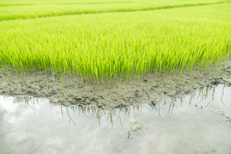 rice seedling growing in the rice field