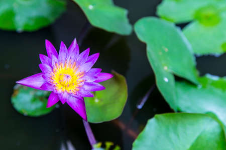 purple lotus flower in the garden
