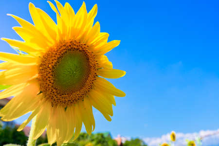 close up of sunflower with blue sky