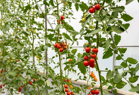 red cherry tomato growing in greenhouse