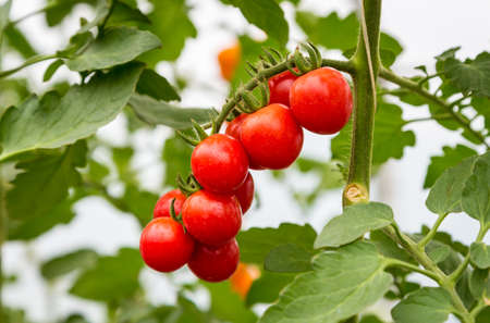 close up of red cherry tomato growing in greenhouse