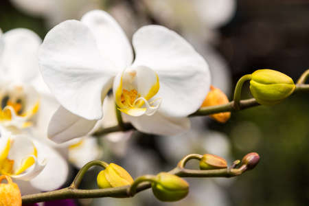 branch of white orchid flower,close up 写真素材