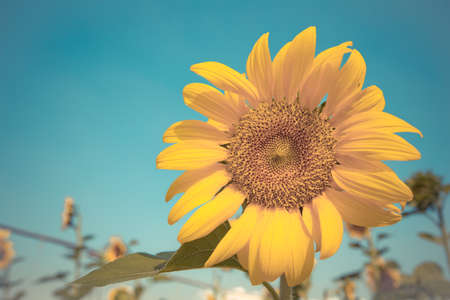 close up of sunflower with blue sky,vintage tone