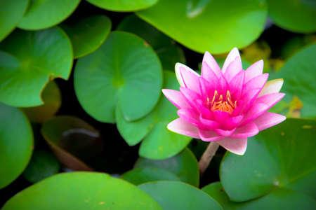 pink lotus flower blooming with leaf