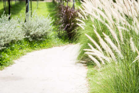 walkway with fox tail grass in the garden