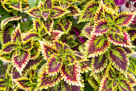 red and green coleus leaf texture